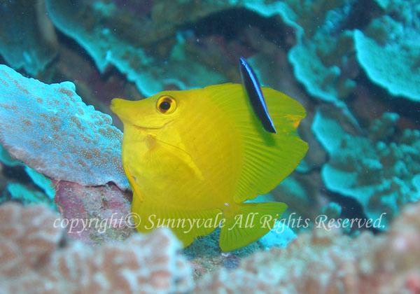 キイロハギ 学名:Zebrasoma flavescens