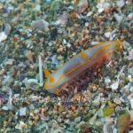 キンセンウミウシ 学名:Gymnodoris amakusana