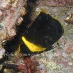 キンチャクダイ幼魚 学名:Chaetodontoplus septentrionalis