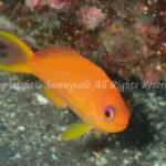 キンギョハナダイ・メス 学名:Pseudanthias squamipinnis