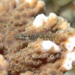 キンホシイソハゼ 学名:Eviota storthynx