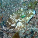 キタマクラ 学名:Canthigaster rivulata