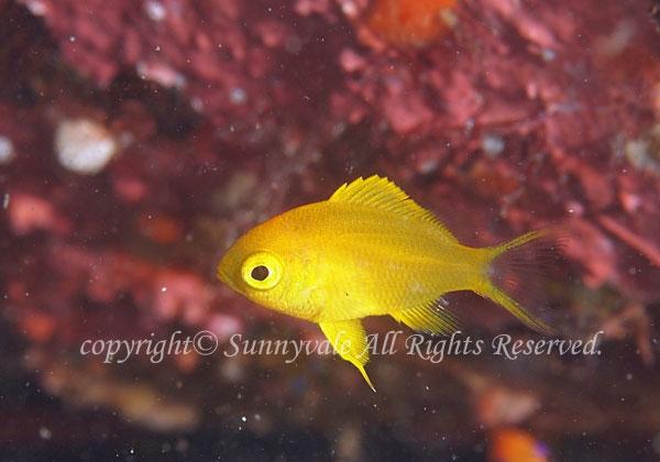 コガネスズメダイ 幼魚 学名:Chromis albicauda