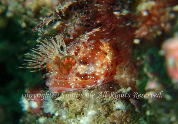 コケギンポ 学名:Neoclinus bryope