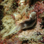 コナユキツバメガイ 学名:Chelidonura amoena