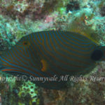 クマドリ 学名:Balistapus undulatus