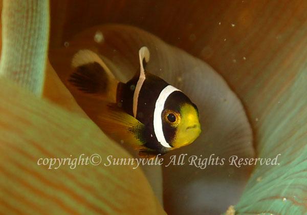 クマノミ 幼魚 学名:Amphiprion clarkii
