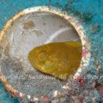 クロイシモチ 学名:Apogonichthyoides niger