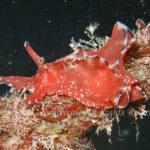 クロヘリアメフラシ 学名:Aplysia parvula
