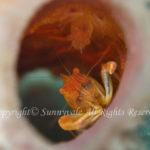 クシノハカクレエビ 学名:Thaumastocaris streptopus