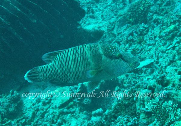 メガネモチノウオ(ナポレオンフィッシュ)若魚 学名:Cheilinus undulatus