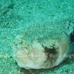 メガネウオ 学名:Uranoscopus bicinctus