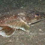 メゴチ 学名:Suggrundus meerdervoortii