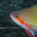メラネシアンアンティアス 学名:Pseudanthias huchtii