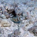 ミナミダテハゼ 学名:Amblyeleotris ogasawarensis