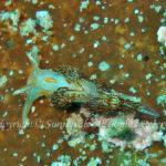 ミノウミウシの仲間 学名:Aeolidina sp.