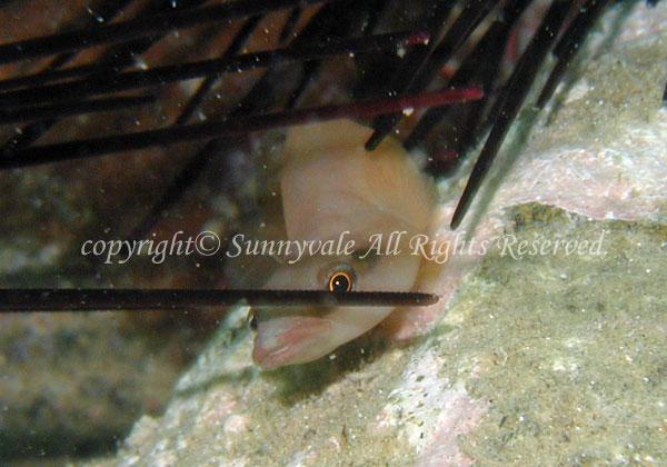 ミサキウバウオ 学名:Lepadichthys frenatus