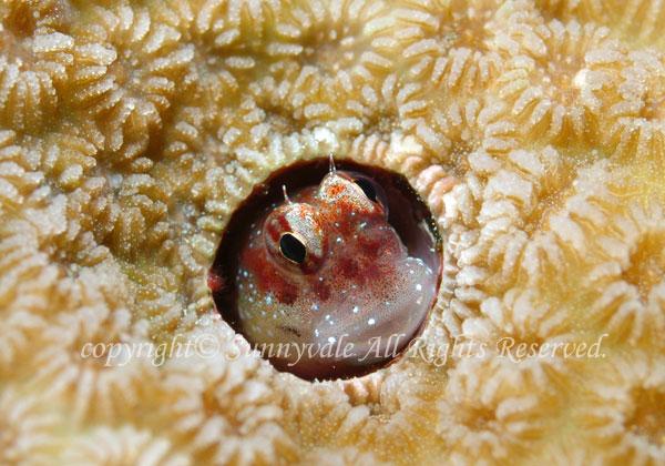 モンツキカエルウオ 学名:Blenniella chrysospilos