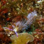 ムカデミノウミウシ 学名:Pteraeolidia semperi