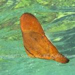 ナンヨウツバメウオ 幼魚 学名:Platax orbicularis