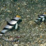 ネジリンボウ 学名:Stonogobiops xanthorhinica