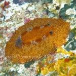 ネズミウミウシ 学名:Platydoris tabulata Edit