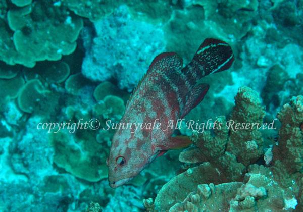 ニジハタ 学名:Cephalopholis urodeta