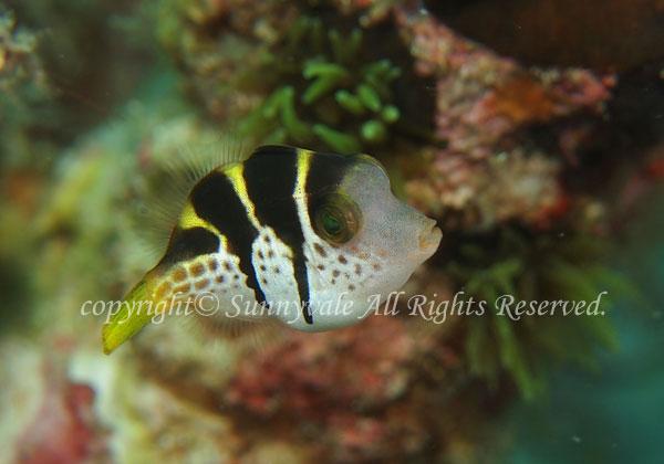ノコギリハギ 幼魚 学名:Paraluteres prionurus