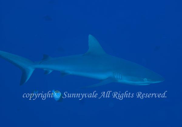 オグロメジロザメ 学名:Carcharhinus amblyrhynchos