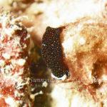 オハグロツバメガイ 学名:Chelidonura inornata
