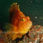 オキゴンベ 学名:Cirrhitichthys aureus