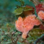 オオモンカエルアンコウ・幼魚 学名:Antennarius commersoni