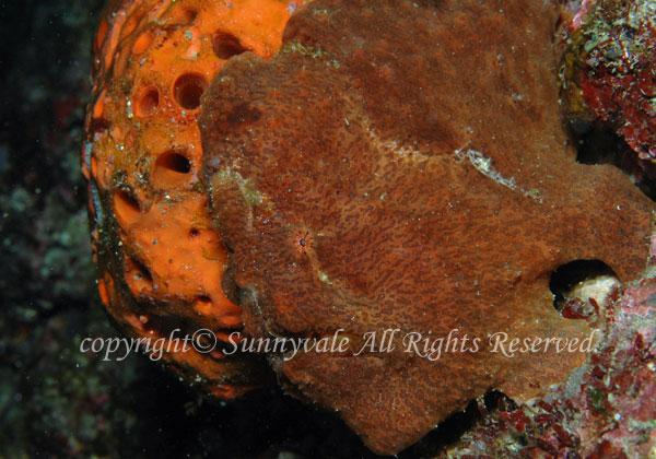オオモンカエルアンコウ 学名:Antennarius commersoni