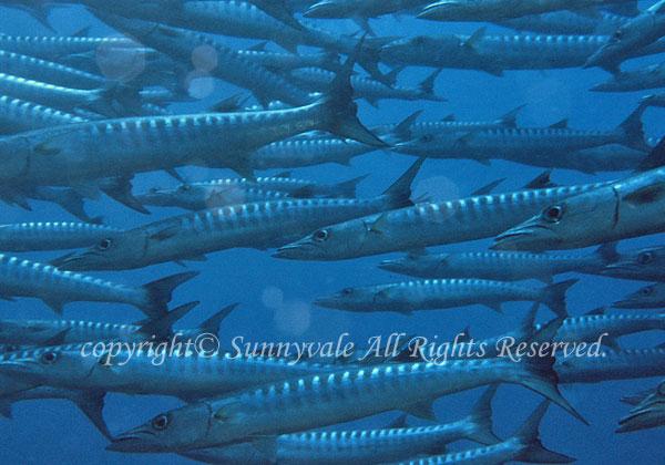 オニカマス 学名:Sphyraena barracuda