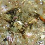 オニオコゼ 幼魚 学名:Inimicus japonicus