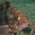 オオモンハタ 学名:Epinephelus areolatus
