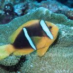 オレンジフィンアネモネフィッシュ 学名:Amphiprion chrysopterus
