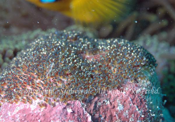 オレンジフィンアネモネフィッシュ 卵 学名:Amphiprion chrysopterus