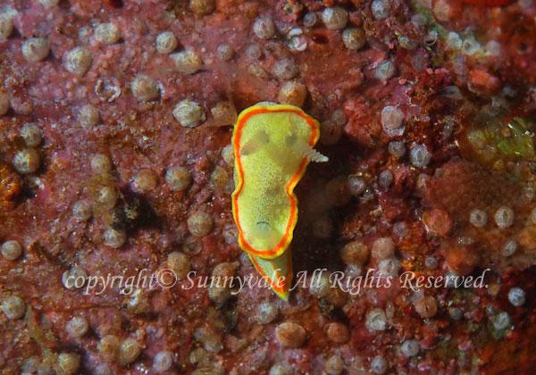 ミツイラメリウミウシ 学名:Diaphorodoris mitsuii