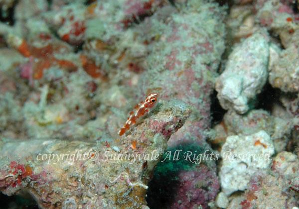 レッドスポッテッドドワーフゴビー 学名:Trimma rubromaculatus