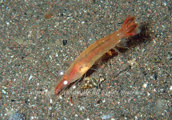 ロウソクエビ 学名:Hayashidonus japonicus