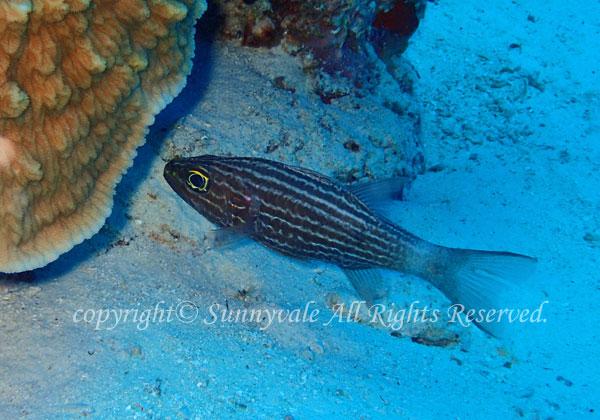 リュウキュウヤライイシモチ 学名:Cheilodipterus macrodon