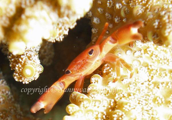 サンゴガニ 学名:Trapezia cymodoce