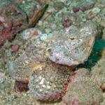 サツマカサゴ 学名:Scorpaenopsis neglecta