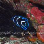 サザナミヤッコ 幼魚 学名:Pomacanthus semicirculatus