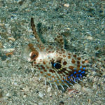 セミホウボウ 幼魚 学名:Dactyloptena orientalis