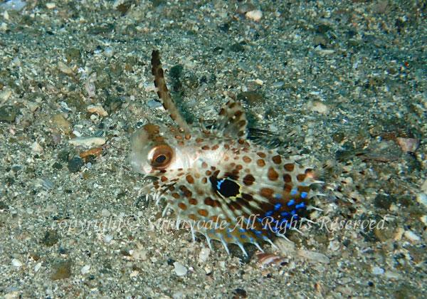 セミホウボウ 学名:Dactyloptena orientalis