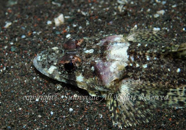セレベスゴチ 学名:Thysanophrys selebica