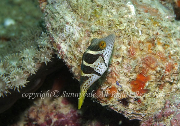 シマキンチャクフグ 学名:Canthigaster valentini