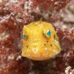 シマウミスズメ 幼魚 学名:Lactoria fornasini